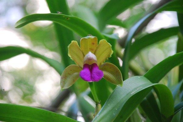 Орхидея Shenzhen Nongke – самый дорогой цветок в мире