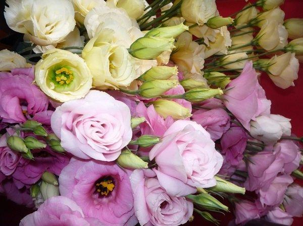 Эустома – главная конкурентка розы