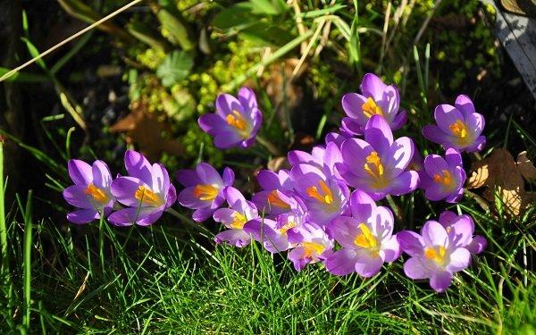Шафран – ароматный талисман весны