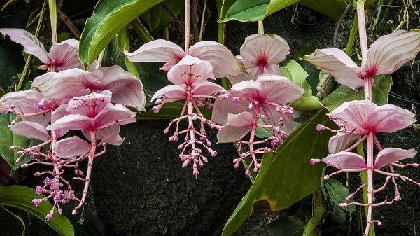 Мединилла – необычное растение с розовыми цветами и прицветниками