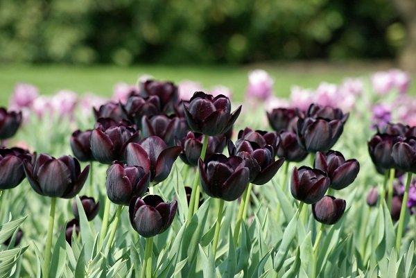 Черный тюльпан «Король ночи»