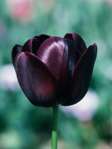 Тюльпан Король ночи